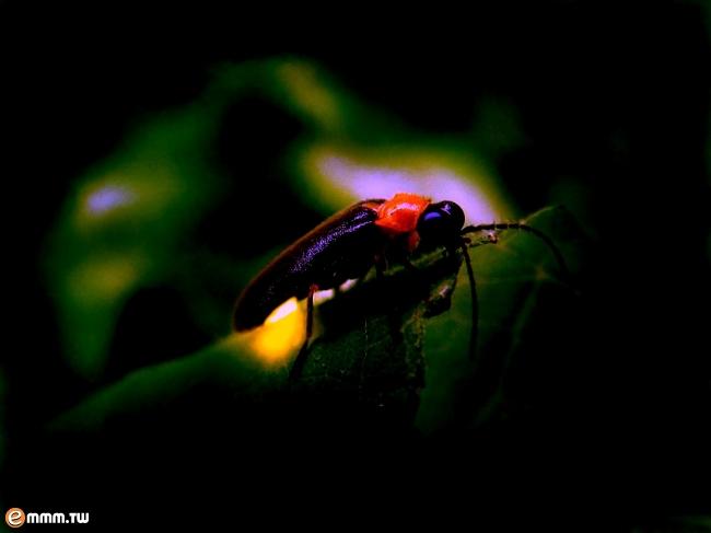 萤火虫在学科分类上属於节肢动物门昆虫纲鞘翅目